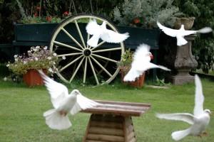 A flutter of doves