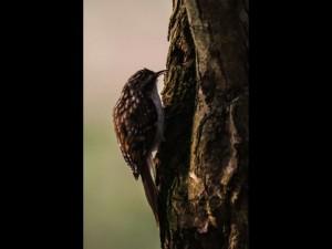 Tree Creeper