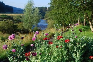 Poppies by river